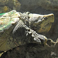 Lindsay Garrett handled 'Lucy' the alligator in Manatee Springs, home of the late Capone, the zoo's alligator snapping turtle.