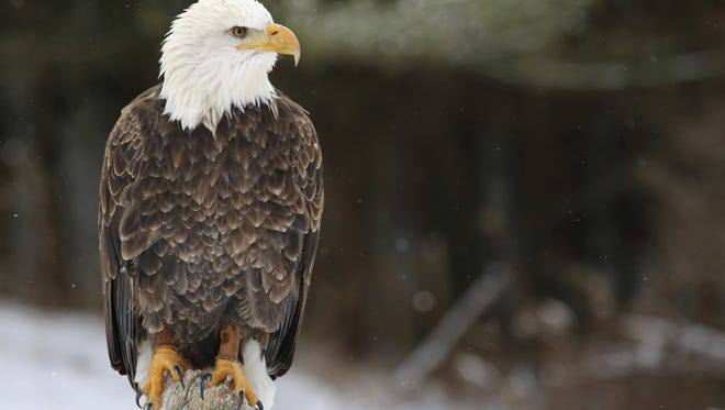 File: Though the species hasn't been on the federal endangered list since 2007, bald eagles are still considered endangered in New Jersey.