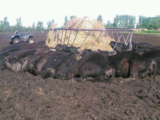 Cattle killed by lightning