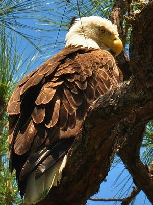 A bald eagle rests on a tree limb in Bonita Springs. The city is discussing how to protect a bald eagle nest from curious human visitors.