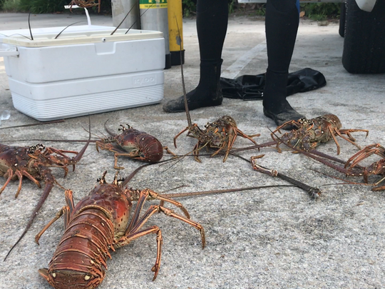 Jacob Couture of Indiatlantic catches his limit of 12 lobsters at Pepper Park in Fort Pierce during the first day of lobster mini-season on Wednesday, July 26, 2017.