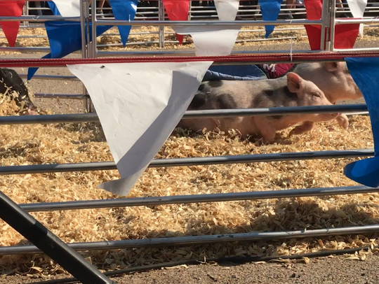 Four pigs compete at a time for the glory of an Oreo