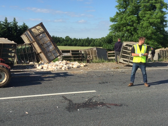 A truck carrying caged chickens lost some of its cargo on Del. 896 Tuesday morning, creating a grisly scene on the side of the road that required hours of cleanup.