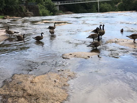 Geese congregate above the falls on the Reedy River