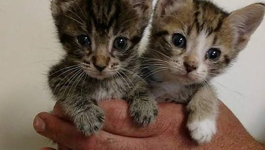 A shelter worker holds two of the newborn kittens recovered from among two dozen cats recovered from a Bridgewater apartment.