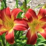 The Suburban Nancy Gayle daylily is one of the most outstanding new selections available. It blooms from mid-May until August with big red with yellow-throated flowers.