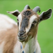 Goat exposes four people to rabies in Pickens County