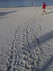 A trail from from a nesting loggerhead sea turtle is visible on Fort Myers Beach on Wednesday 6/24/2015.