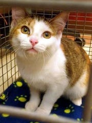 Mini Me is an adorable young female domestic shorthair with stunning amber eyes. She is very loving and affectionate. Find her at Montgomery County Animal Care and Control, 616 N. Spring St., 931-648-5750, www.facebook.com/MontgomeryCountyAdoptionServices.
