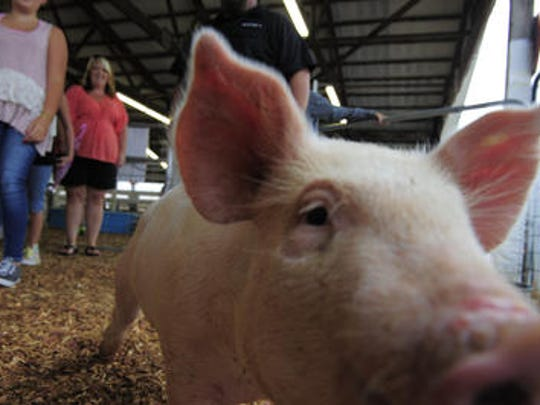 Animals are a major part of the Wilson County Fair.