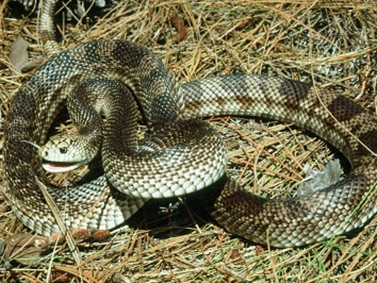 "Florida Pine Snake: The snout is pointed and has a large scale on the nose, and a pronounced ridge above the eyes makes pine snakes look ""mean."""