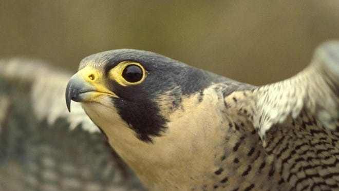 The birds were removed from the federal endangered species list in 1999 due to intensive restoration efforts. But peregrines have remained on the Missouri state-endangered species list since.