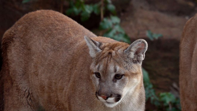 Southern Oregon man says he thought raccoons had been killing his backyard chickens for a couple of nights. It was a cougar.