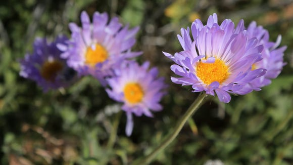 A variety of wildflowers bloom along the Bearclaw Poppy Trail west of the Bloomington area of St. George.