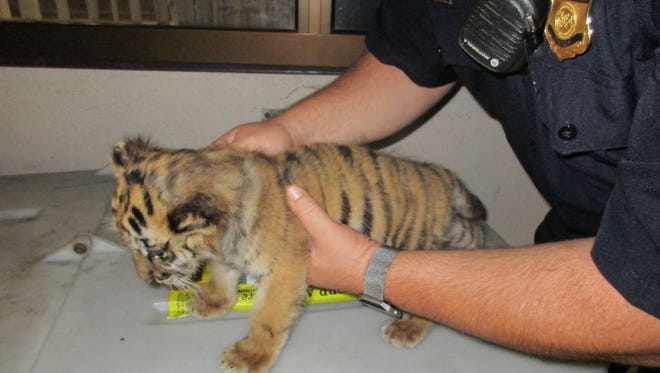 A Customs and Border Protection officer holds a Bengal tiger cub seized Aug. 23, 2017, at a California border crossing. The cub is now on view at the San Diego Zoo Safari Park, and the driver of the car where he was found faces federal charges of smuggling an endangered species.