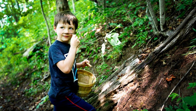 Jack Peterson, 5, of Philadelphia, smells a sassafras root while on a foraging adventure with No Taste Like Home near Marshall June 15.