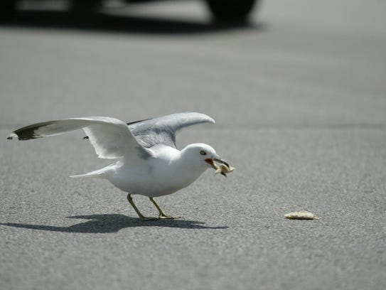 Schukow said seagulls have been increasingly aggressive