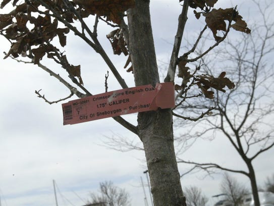 One of the new crimson spire English oak trees planted