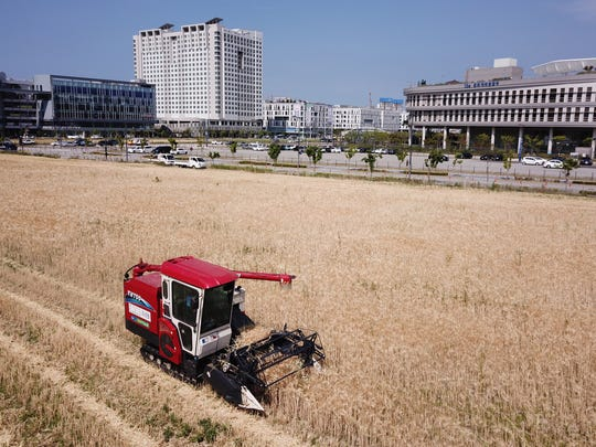 A farmer harvests barley at a field in the administrative