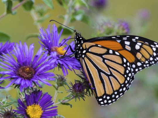 monarch aster edit rruntsch iStock75608393xl