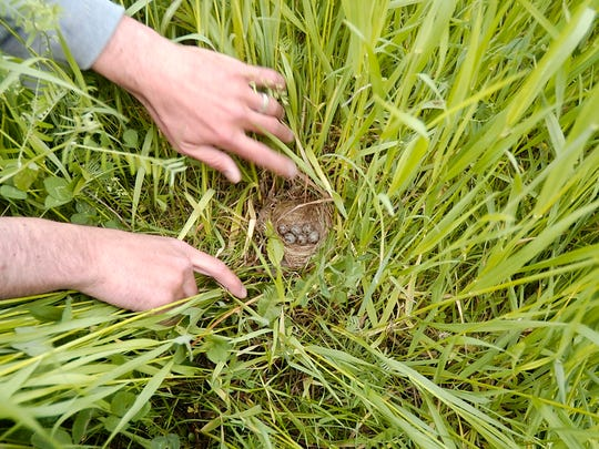 Noah Perlut of the University of Vermont shows a bobolink nest hidden in the tall grass of a field in Hinesburg on Wednesday June 6, 2007.