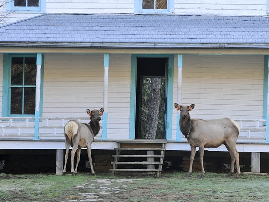 Elk stand in front of the historic Palmer House in Cataloochee Valley in the Great Smoky Mountains National Park.
