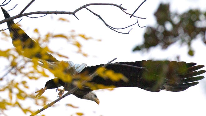 A mature bald eagle flies from a tree overlooking Lake Winnebago near Fond du Lac. The number of eagle nests this year climbed from 1,465 to 1,504 — an increase of 2.7%. The number has been above 1,000 since 2005, according to the Department of Natural Resources.