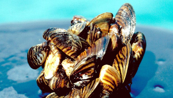 Invasive zebra mussels, shown here, and similar quagga mussels cover many areas of the Great Lakes.