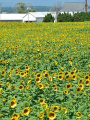 The Field of Sunflowers is in bloom for visitors to