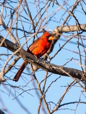 "Master Naturalist Paula Savage spotting this male northern cardinal on the ""chat trail"" at Lake Wichita State Park."