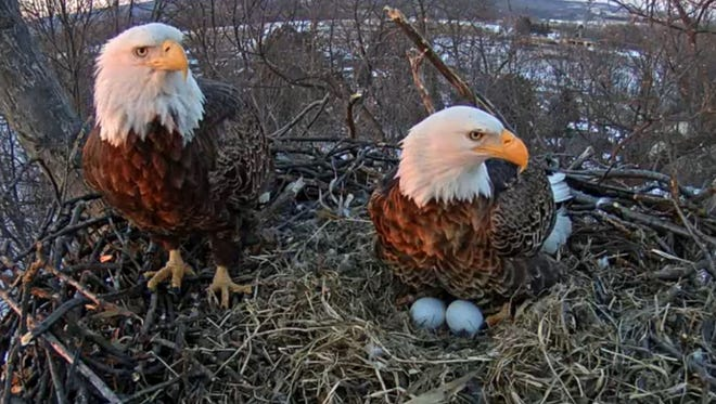 "Jim Goodfellow snapped this photo February 20, 2015 at 5:45 pm. from the live eagle cam located in Hanover PA. Goodfellow writes: ""The eagle parents were just getting ready to change shifts keeping the eggs warm."""