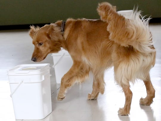 Rookie, a 3-year-old Golden Retriever, sniffs out a
