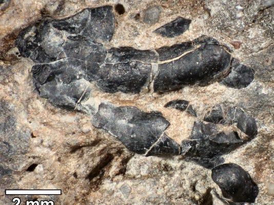 Fossilized dinosaur poop