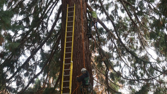 Two employees from Elwood's Tree Service scale one of the estimated 150-foot-tall giant sequoias on the Willamette University campus on Monday, Nov. 20, 2017, to string lights for the holidays. Five sequoias were planted together in 1942 and today are known as the Star Trees.