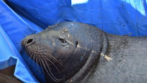 Phil, the wayward seal, rescued from mud 12 miles inland