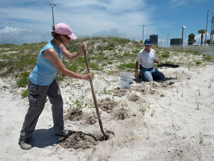 Frederique Beroset, left, and Rick Martin, right, from the company Dune Doctors, plants new Sea Oats on Pensacola Beach Monday afternoon June 9, 2014. The company is creating a new dune and planting sea oats next to Margaritaville Beach Hotel to redirect rainwater and storm surge after the hotel's parking garage was flooded during April's deluge