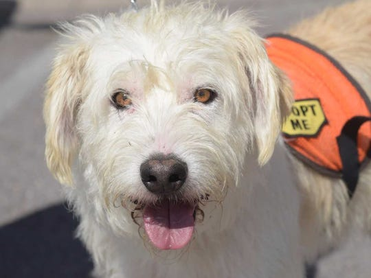 Poncho - Male terrier, about 2.5 years. Intake date:1/11/2017