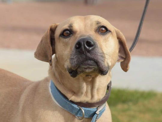 Ranger - Male (neutered) Black-Mouth Cur mix, about 5 years old. Intake date: 8/21/2017