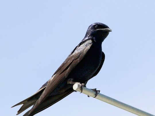 There are several nesting colonies of purple martins