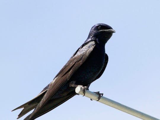 There are several nesting colonies of purple martins at the Shore.