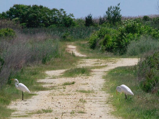 A couple of great egrets hang out at Forsythe.
