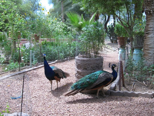 Peacocks roam the gardens at Luchia's Restaurant & Gifts in Wikieup.