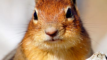 A reader questions why he's not seeing any chipmunks this spring.