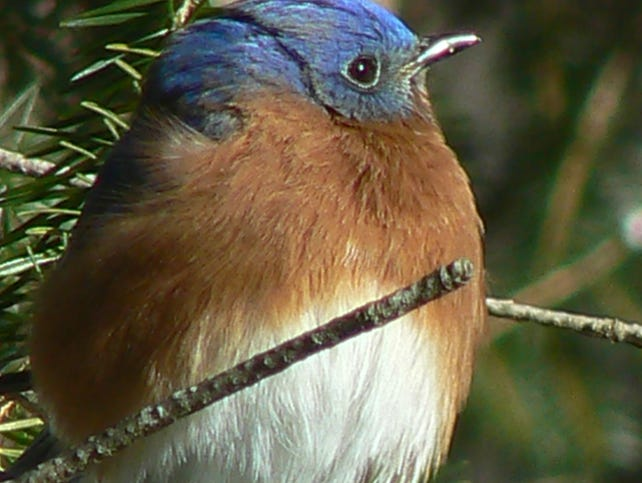 Shamong Man Protects Elusive Bluebirds Found In Parts Of