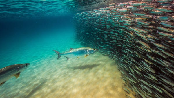 Tarpon approaching massive mullet school