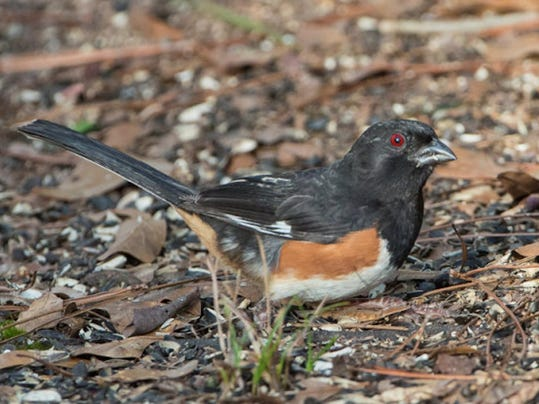 Rufous Sided Towhee (Eastern Towhee).png