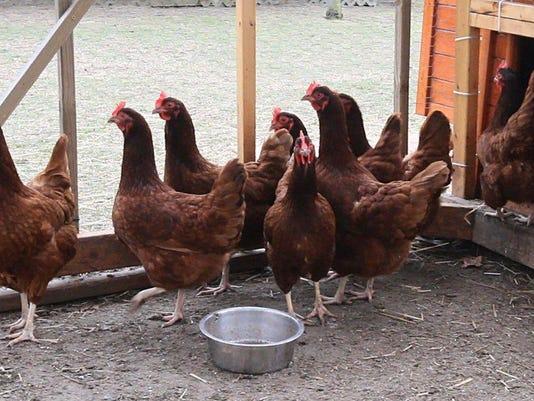636253560905639382-chickens.jpg
