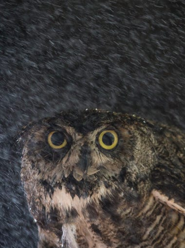 You can't tell by its face, but this great horned owl is enjoying a cool shower from a zoo keeper on June 19, 2017, at the Phoenix Zoo.