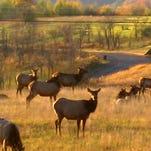 Elk graze across a mountain pasture.