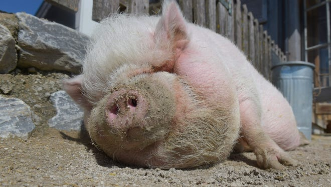 A pot-bellied pig enjoys the warm and sunny weather at Gut Aiderbichl in Henndorf in the Austrian province of Salzburg in 2014. (AP Photo)
